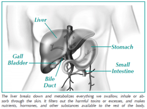 Illustration of the liver
