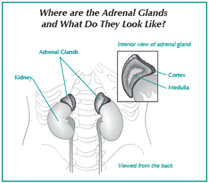 Illustration of the adrenal glands
