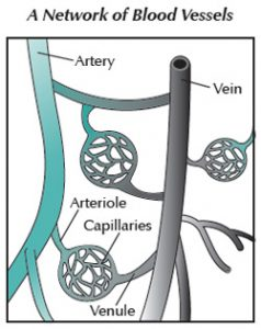 Diagram of blood vessel network