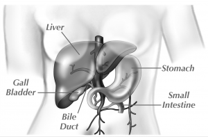Illustration of the gall bladder